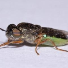 Odontomyia sp. (genus) (Soldier fly) at Evatt, ACT - 17 Nov 2015 by TimL