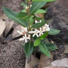 Marsdenia suaveolens (Scented Marsdenia) at Morton National Park - 20 Apr 2020 by Brigitte