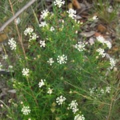 Pimelea linifolia subsp. linifolia (Rice-flower) at Morton National Park - 20 Apr 2020 by Brigitte