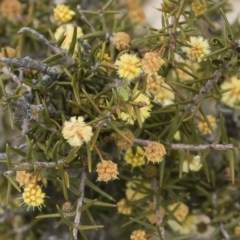 Acacia ulicifolia (Prickly Moses) at Illilanga & Baroona - 13 Oct 2018 by Illilanga