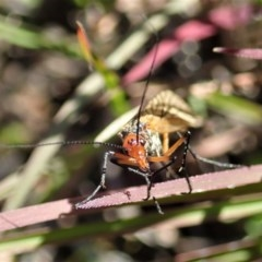 Chorista australis (Autumn scorpion fly) at Mount Painter - 23 Apr 2020 by CathB