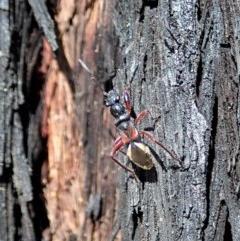 Daerlac cephalotes (Ant Mimicking Seedbug) at Aranda Bushland - 23 Apr 2020 by CathB