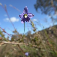 Wahlenbergia sp. (Bluebell) at Rugosa at Yass River - 24 Apr 2020 by SenexRugosus