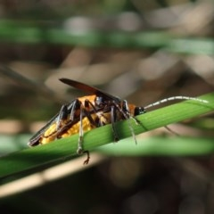 Chauliognathus tricolor (Tricolor soldier beetle) at Mount Painter - 23 Apr 2020 by CathB