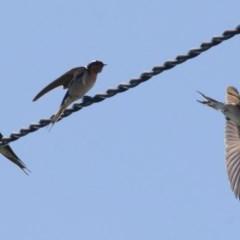 Hirundo neoxena (Welcome Swallow) at Illilanga & Baroona - 17 Oct 2010 by Illilanga