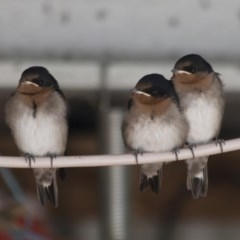 Hirundo neoxena (Welcome Swallow) at Illilanga & Baroona - 20 Nov 2011 by Illilanga