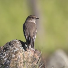 Petroica phoenicea (Flame Robin) at The Pinnacle - 24 Apr 2020 by Alison Milton