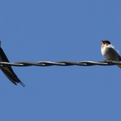 Hirundo neoxena (Welcome Swallow) at Illilanga & Baroona - 13 Apr 2012 by Illilanga