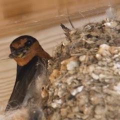 Hirundo neoxena (Welcome Swallow) at Illilanga & Baroona - 16 Dec 2012 by Illilanga