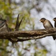 Hirundo neoxena at Michelago, NSW - 1 Jan 2013