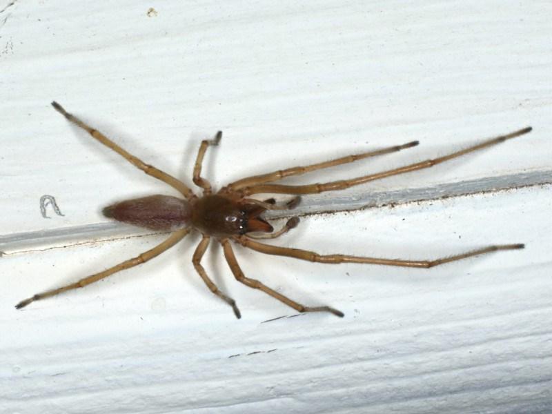 Cheiracanthium sp. (genus) at Ainslie, ACT - 25 Apr 2020