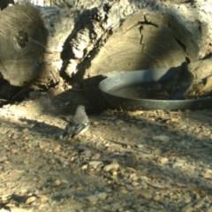 Rhipidura albiscapa (Grey Fantail) at Rugosa at Yass River - 23 Apr 2020 by SenexRugosus