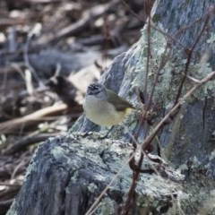 Acanthiza chrysorrhoa (Yellow-rumped Thornbill) at Illilanga & Baroona - 22 Aug 2011 by Illilanga