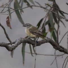 Acanthiza chrysorrhoa (Yellow-rumped Thornbill) at Illilanga & Baroona - 27 Nov 2011 by Illilanga