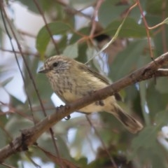Acanthiza lineata (Striated Thornbill) at Illilanga & Baroona - 22 Jan 2012 by Illilanga