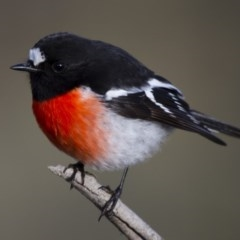 Petroica boodang (Scarlet Robin) at Illilanga & Baroona - 10 Jun 2012 by Illilanga