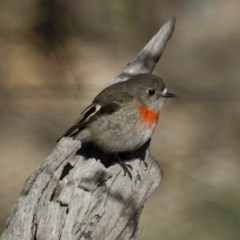 Petroica boodang (Scarlet Robin) at Illilanga & Baroona - 16 Jun 2013 by Illilanga