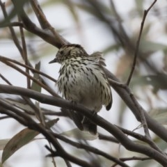 Pyrrholaemus sagittatus (Speckled Warbler) at Illilanga & Baroona - 3 Nov 2019 by Illilanga
