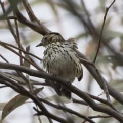 Pyrrholaemus sagittatus (Speckled Warbler) at Michelago, NSW - 3 Nov 2019 by Illilanga