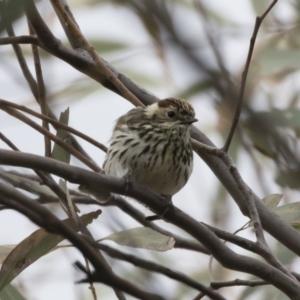Pyrrholaemus sagittatus at Michelago, NSW - 4 Nov 2019