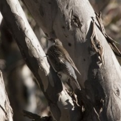 Cormobates leucophaea (White-throated Treecreeper) at Illilanga & Baroona - 22 Aug 2011 by Illilanga