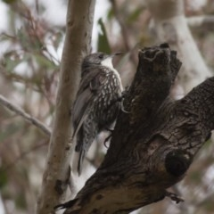 Cormobates leucophaea (White-throated Treecreeper) at Illilanga & Baroona - 12 Dec 2011 by Illilanga
