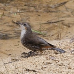Cormobates leucophaea (White-throated Treecreeper) at Illilanga & Baroona - 15 Jan 2012 by Illilanga