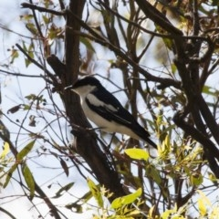 Lalage tricolor (White-winged Triller) at Illilanga & Baroona - 20 Dec 2010 by Illilanga