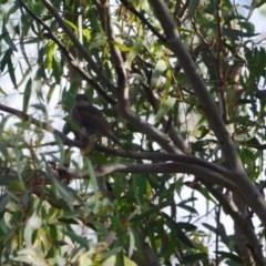 Pachycephala pectoralis (Golden Whistler) at Greenleigh, NSW - 25 Apr 2020 by LyndalT