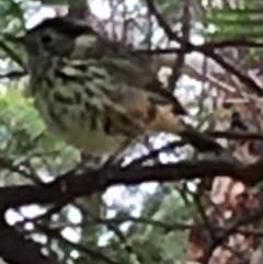 Pyrrholaemus sagittatus (Speckled Warbler) at Lower Boro, NSW - 26 Apr 2020 by mcleana