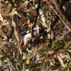 Lalage tricolor (White-winged Triller) at Michelago, NSW - 26 Dec 2011 by Illilanga