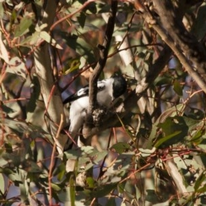 Lalage tricolor at Michelago, NSW - 26 Dec 2011