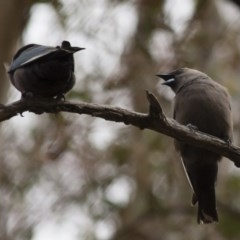 Artamus cyanopterus (Dusky Woodswallow) at Illilanga & Baroona - 28 Nov 2011 by Illilanga