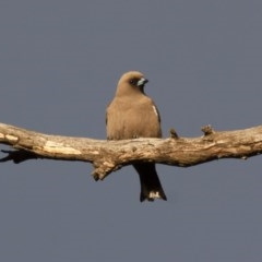 Artamus cyanopterus (Dusky Woodswallow) at Illilanga & Baroona - 26 Dec 2011 by Illilanga