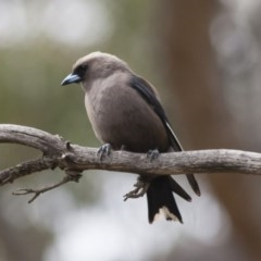 Artamus cyanopterus (Dusky Woodswallow) at Illilanga & Baroona - 7 Jan 2012 by Illilanga