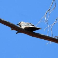 Artamus cyanopterus (Dusky Woodswallow) at Wanniassa Hill - 25 Apr 2020 by RodDeb