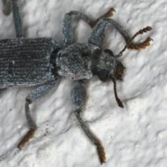 Eunatalis sp. (genus) at Ainslie, ACT - 18 Dec 2019