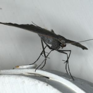Epidesmia hypenaria at Ainslie, ACT - 18 Dec 2019