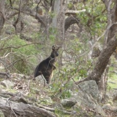 Wallabia bicolor (Swamp Wallaby) at Isaacs Ridge and Nearby - 13 Apr 2020 by Mike