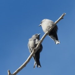 Artamus cyanopterus (Dusky Woodswallow) at Narrabundah, ACT - 25 Apr 2020 by RobParnell