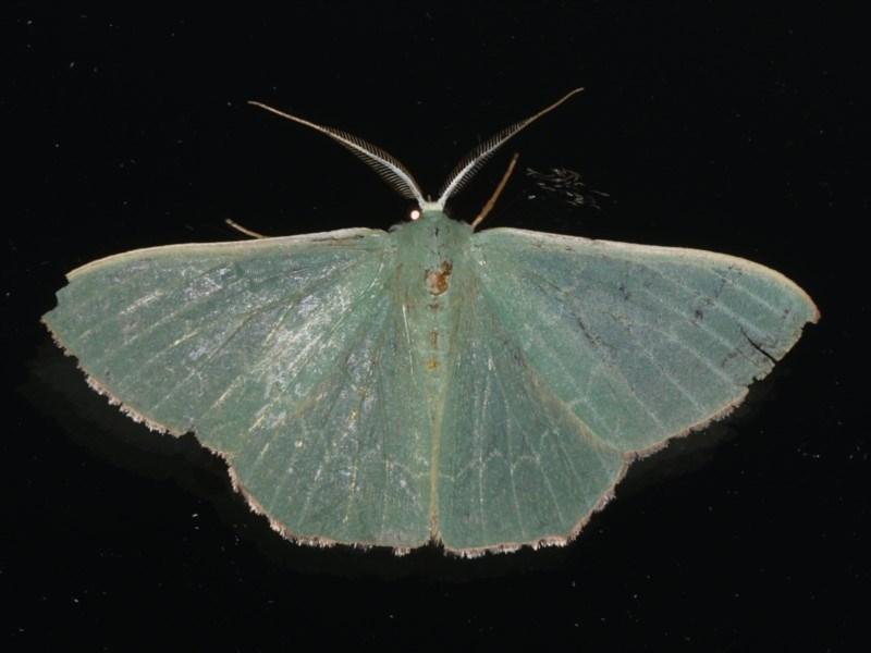 Prasinocyma semicrocea at Ainslie, ACT - 18 Dec 2019