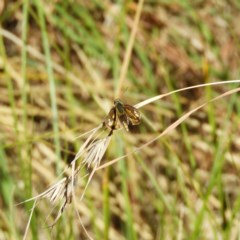 Ocybadistes walkeri (Greenish Grass-dart) at Kambah, ACT - 25 Apr 2020 by MatthewFrawley
