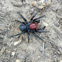 Missulena occatoria (Red-headed Mouse Spider) at Black Mountain - 22 Sep 2019 by Philip