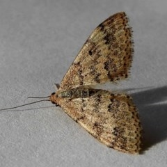 Scopula rubraria (Reddish Wave) at Crooked Corner, NSW - 25 Apr 2020 by Milly