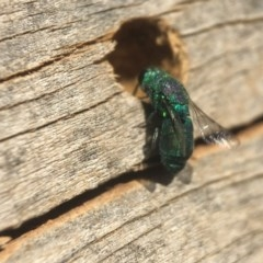Chrysididae sp. (family) (Unidentified cuckoo wasp) at Jerrabomberra Wetlands - 21 Apr 2020 by PeterA
