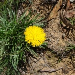 Rutidosis leptorhynchoides (Button wrinklewort) at Barton, ACT - 21 Apr 2020 by JanetRussell