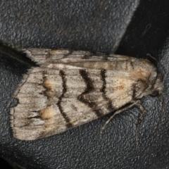 Dysbatus singularis at Ainslie, ACT - 18 Dec 2019