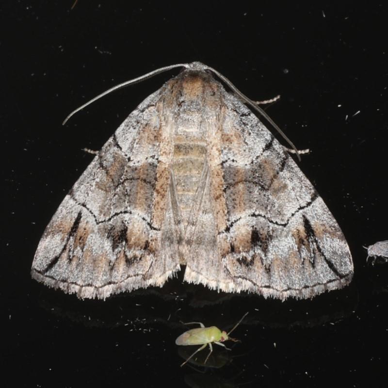 Dysbatus stenodesma at Ainslie, ACT - 18 Dec 2019