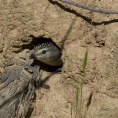Pardalotus punctatus (Spotted Pardalote) at The Pinnacle - 28 Oct 2014 by AlisonMilton