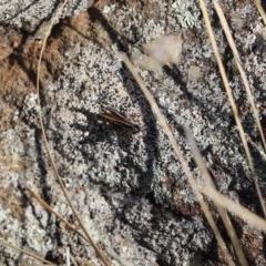 Macrotona australis (Common Macrotona Grasshopper) at Mount Painter - 27 Apr 2020 by Tammy